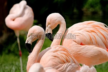 rosa flamingos in einer gruppe
