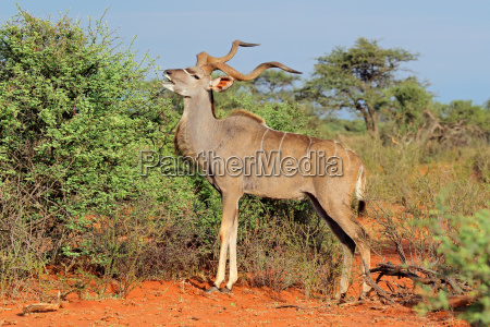 kudu antelope in natural habitat
