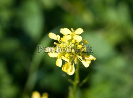 wachsenwild gelb bedstraw galium verum gruener