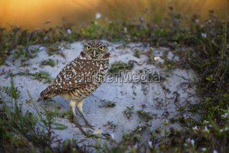 male burrowing owl staring at camera