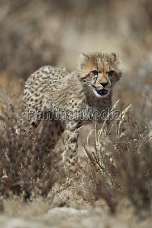 gepard acinonyx jubatus junges kgalagadi transfrontier