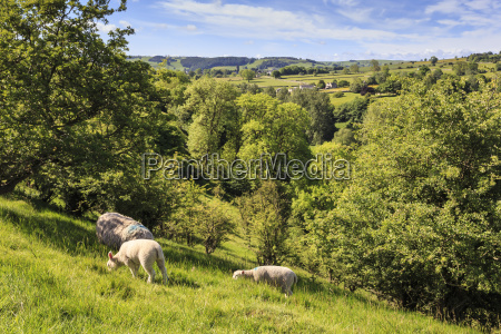 sheep and lambs above lathkill dale