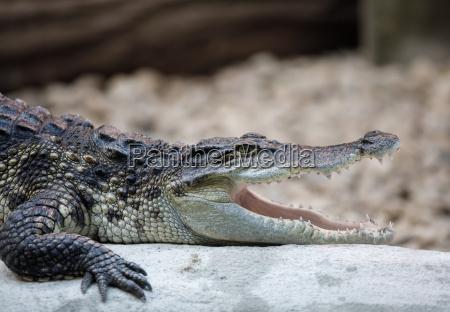 portraet eines nil krokodils