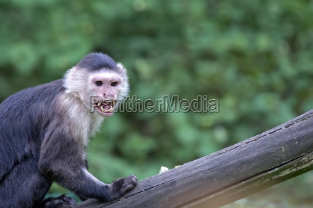 white throated capuchin in the wild