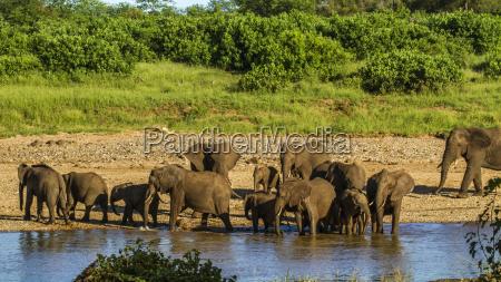 afrika elefant gebuesch busch afrikanerin safari
