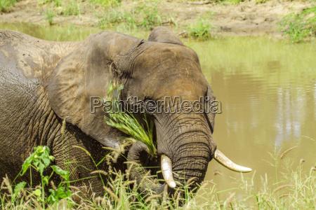 ein wilder afrikanischer buschelefant isst im