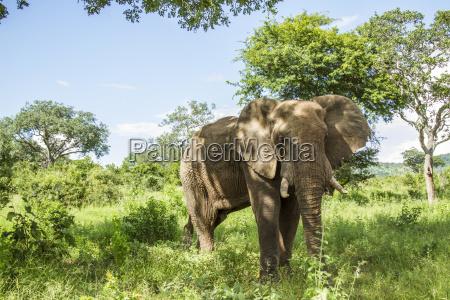 weitwinkel eines afrikanischen buschelefanten in einer