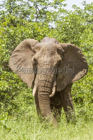 zumachen schliessen afrika elefant savanne hautnah