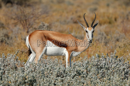 springbok in natural habitat
