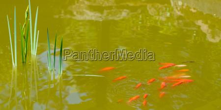 goldfische schwimmen in einem teich mit