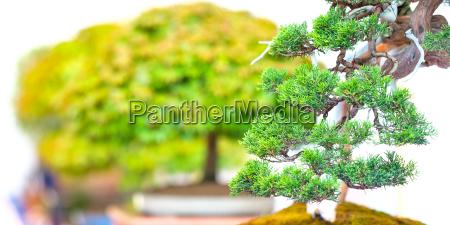 wacholder bonsai baum im panorama mit