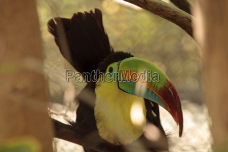 vogel schnabel belize ornithologie vogelkunde schnaebeln