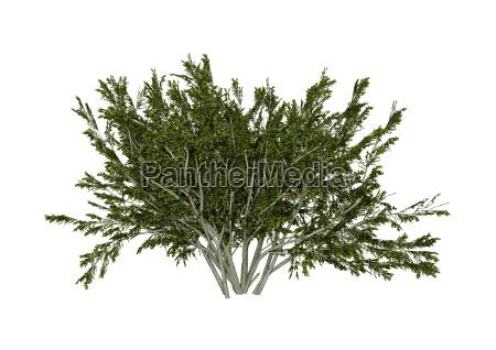 3d rendering kreosot bush auf weiss
