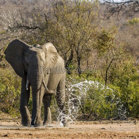 trinken trinkend trinkt afrika elefant wasser