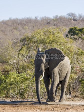 trinken trinkend trinkt afrika elefant gebuesch