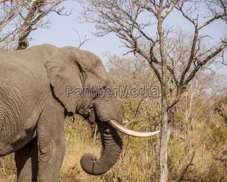 zumachen schliessen afrika elefant stosszahn savanne