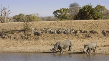 afrikanisches nashorn das im riverbank in