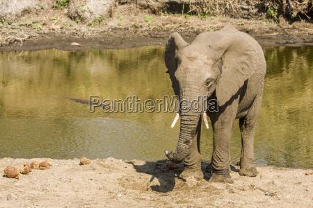 babyelefant der im schlamm in kruger