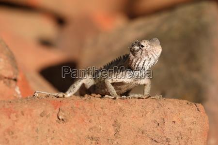 eidechsen und reptilien in sri lanka