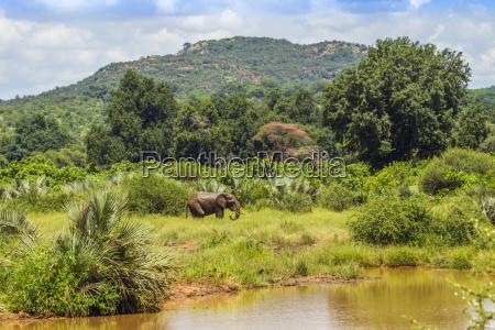 loxodonta africana afrikanischer buschelefant in seinem