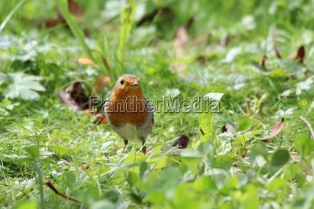 robin, in, the, green, grass - 23016131
