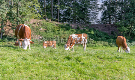 brown white cows on a pasture