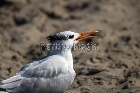 die royal tern am strand von