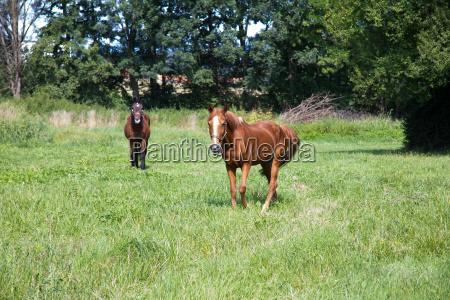 braune pferde auf einer wiese im