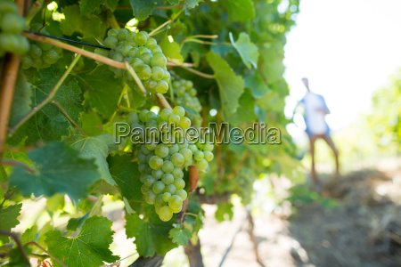 bunch of grapes growing on plant