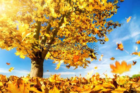 yellow leaves fall to the ground