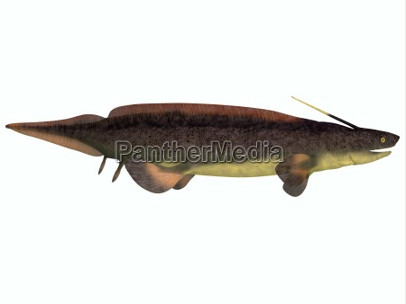 xenacanthus fisch auf weiss