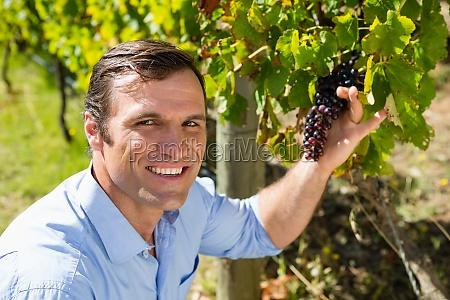 portrait of vintner examining grapes in
