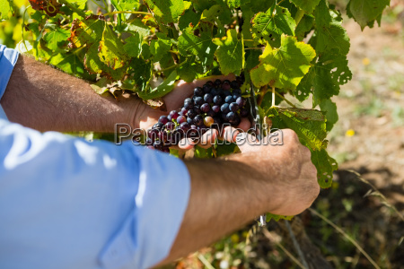 close up of vintner examining grapes