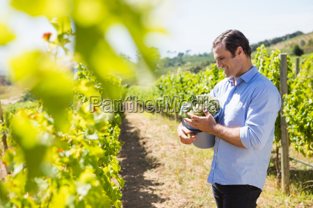 happy vintner holding harvested grapes in