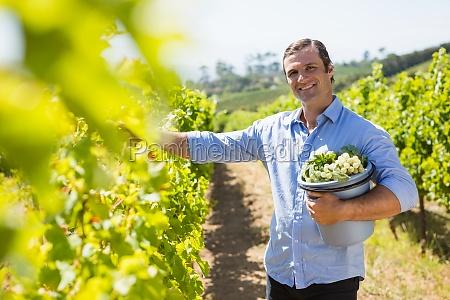 portrait of happy vintner harvesting grapes