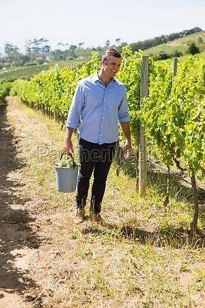 happy vintner harvesting grapes in vineyard