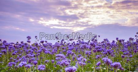 phacelia flowers field and purple sunset