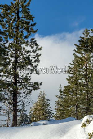snow forrest klimawandel in suedkalifornien big