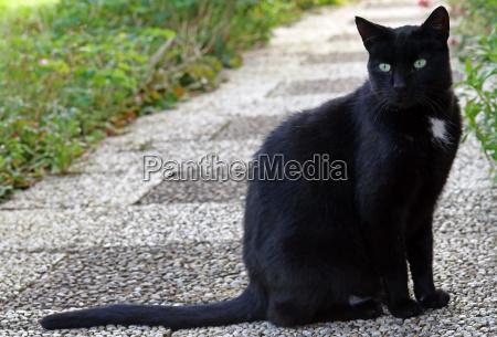 a tall slender black male cat