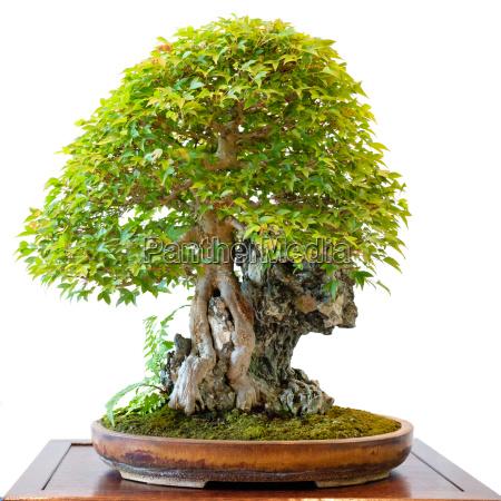 dreispitzahorn acer buergerianum als bonsai baum