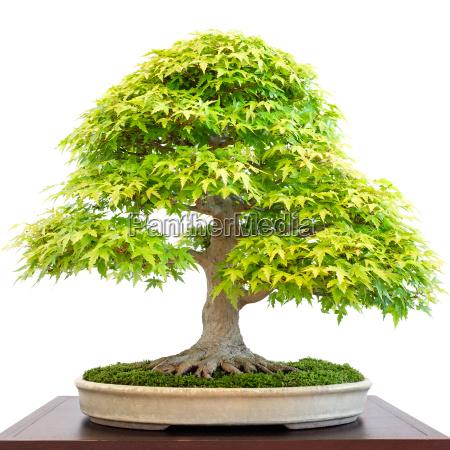 alter ahornbaum acer palmatum als bonsai