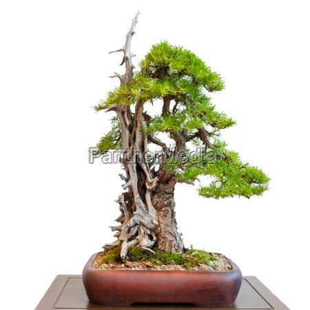 alte laerche nadelbaum mit totholz als