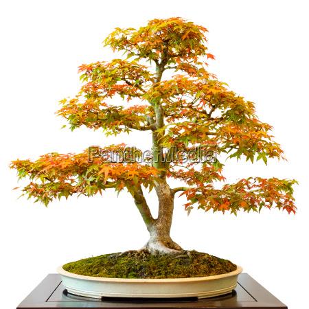 ahornbaum acer palmatum als bonsai baum