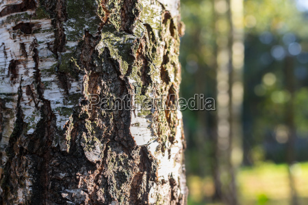 birkenwald hintergrund im sonnenlicht