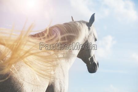 weisses pferd im sonnenlicht