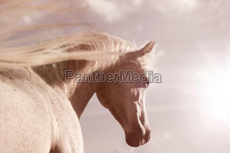 weisses araber pferd