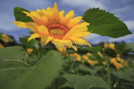close up of bright yellow japanese