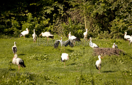 many storks on meadow