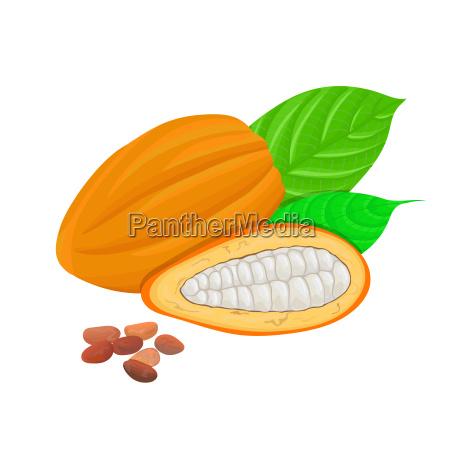 frische kakao frucht kakao blaetter und