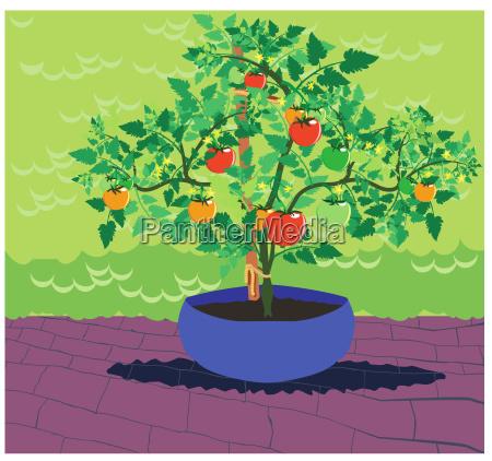 classic tomato plant 1